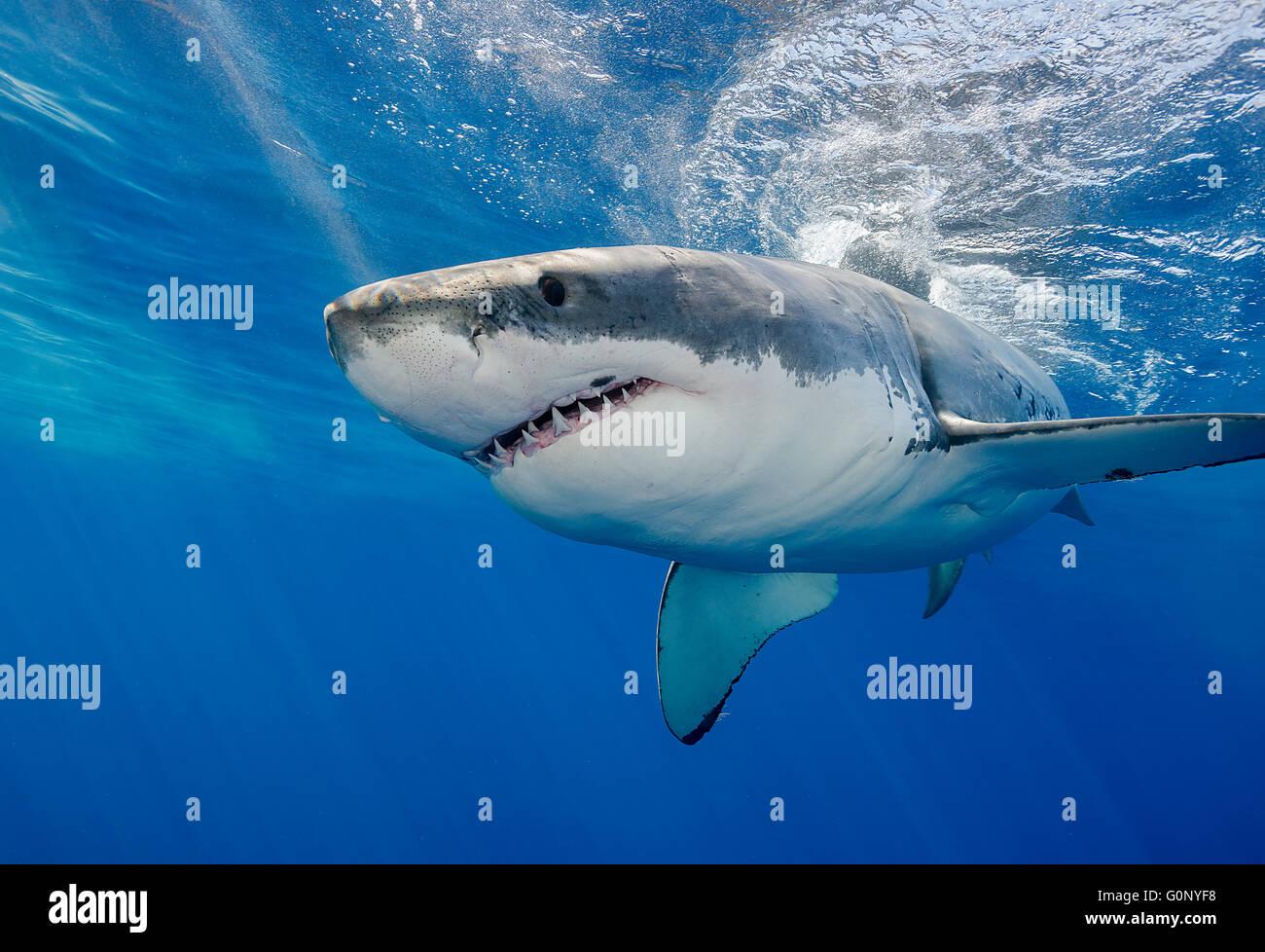 Grand requin blanc au sous-marin de l'île Guadalupe, Mexique Photo Stock