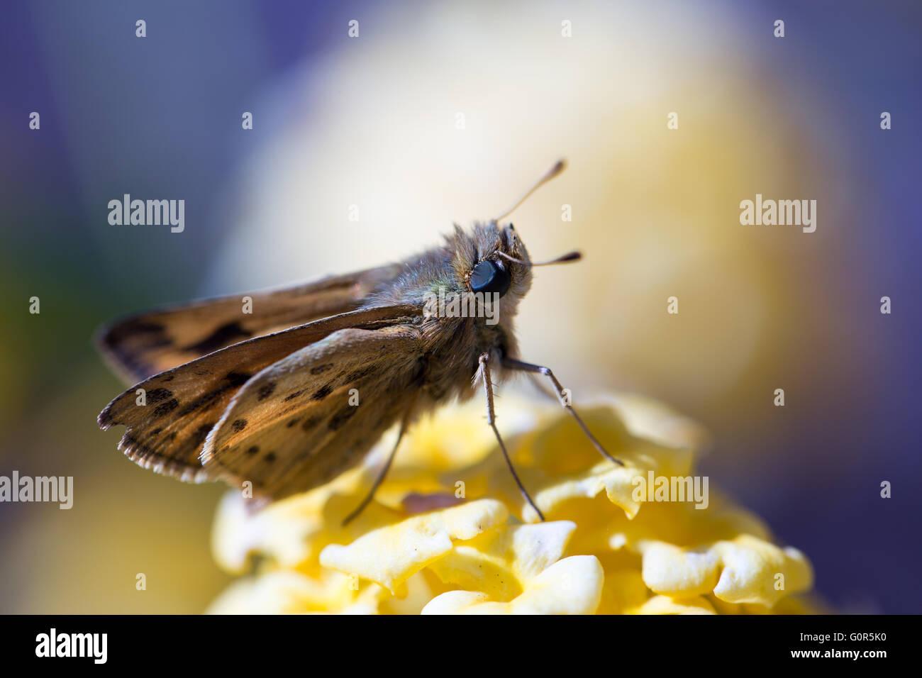 Skipper - Fiery hylephila phyleus Photo Stock
