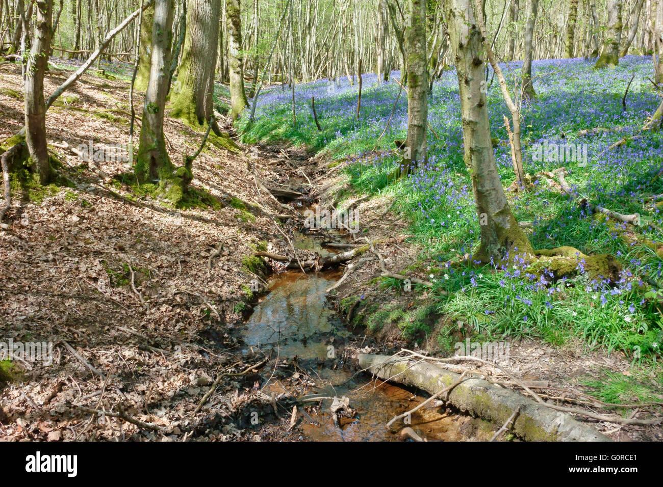 Stream qui traverse un bois bluebell au printemps, Sussex England UK Photo Stock