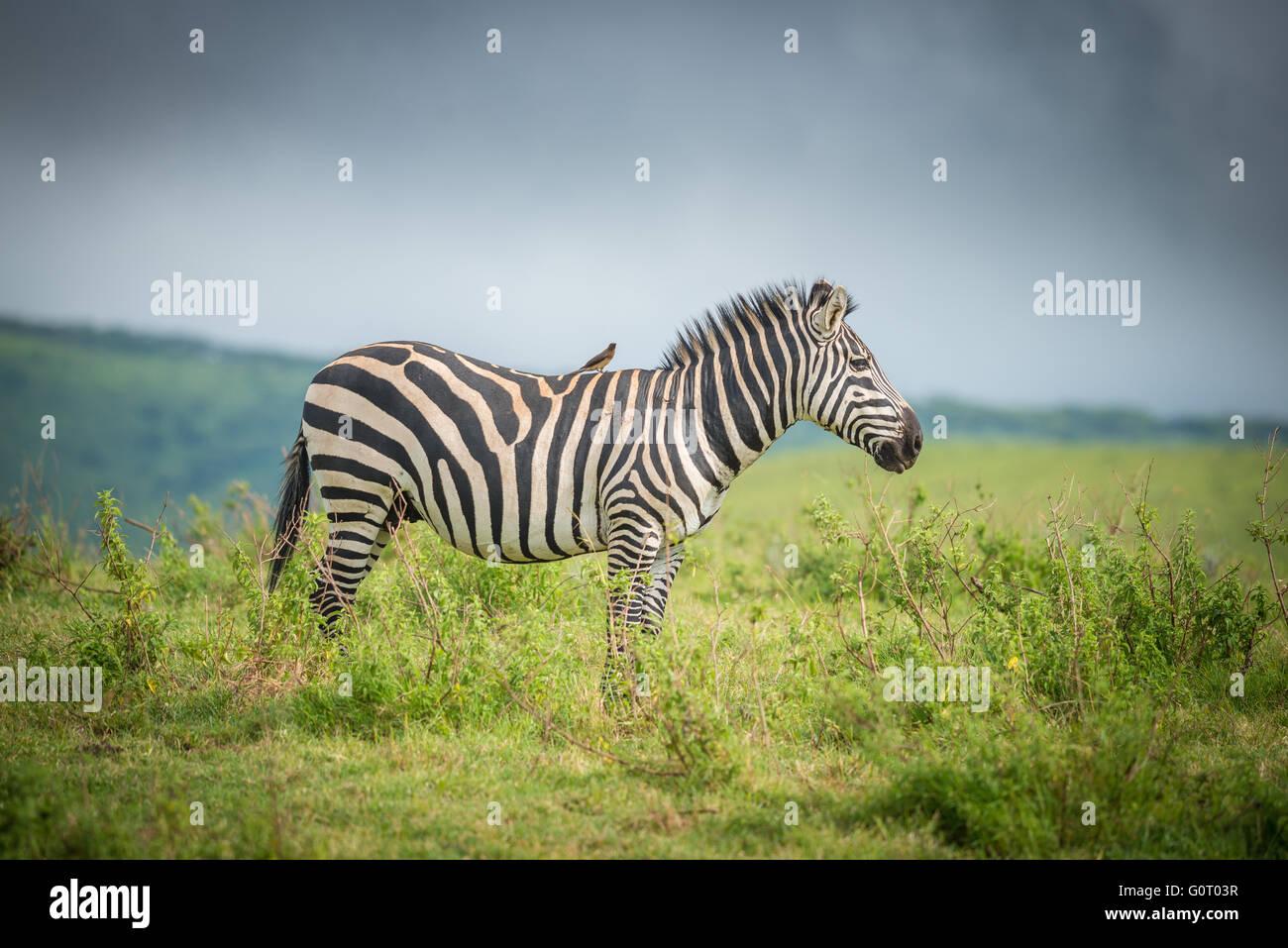 Un zèbre sauvage promenades à travers les plaines fertiles du cratère du Ngorongoro en Tanzanie, Photo Stock