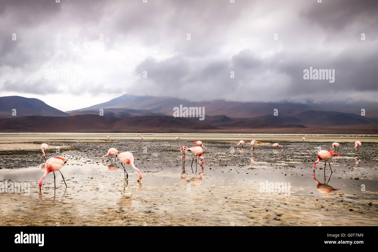 Les flamants roses se nourrissent d'un lac dans les plaines de sel d'Uyuni, Bolivie Photo Stock