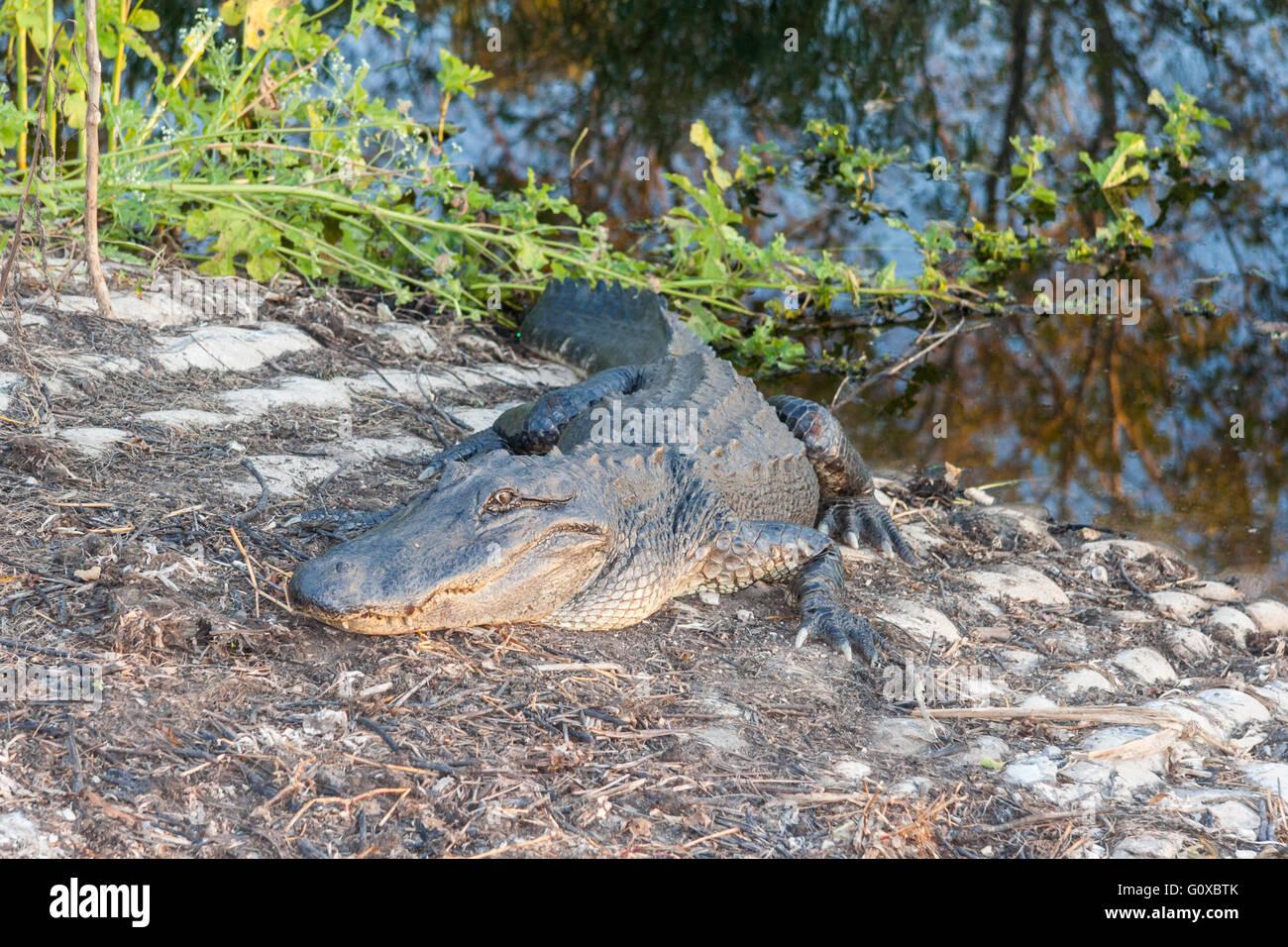Alligator affamé attend les touristes insouciants dans Brazos Bend State Park près de Houston, Texas Banque D'Images