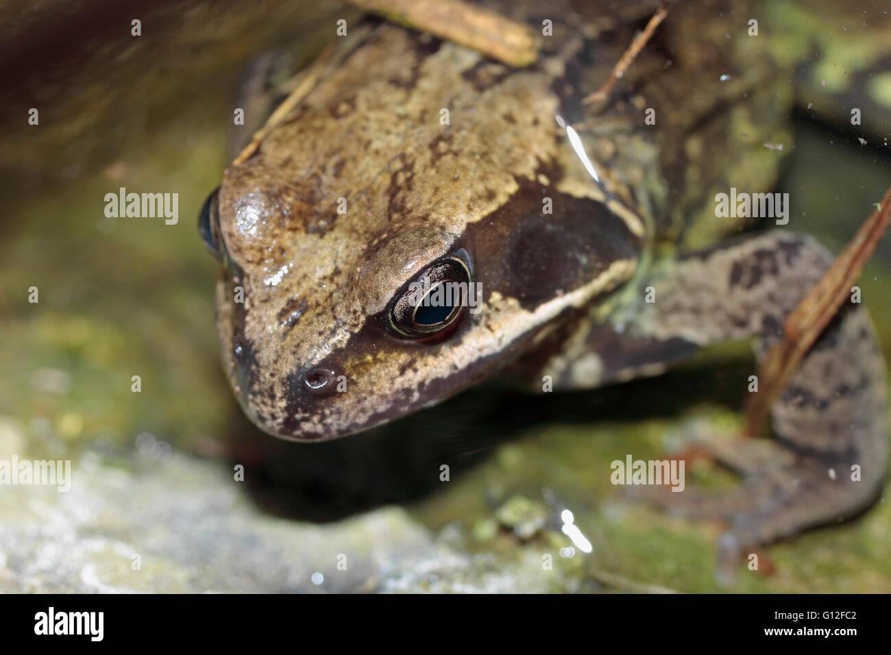 Anglais Common frog Rana temporaria dans un étang de jardin Banque D'Images
