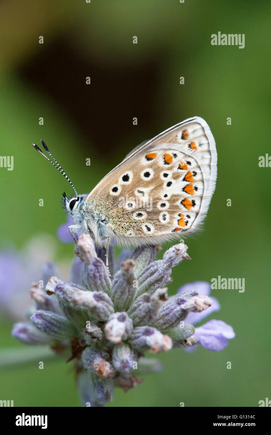 Papillon Bleu commun Polyommatus icarus seul adulte se nourrit de fleurs de lavande Essex, UK Photo Stock