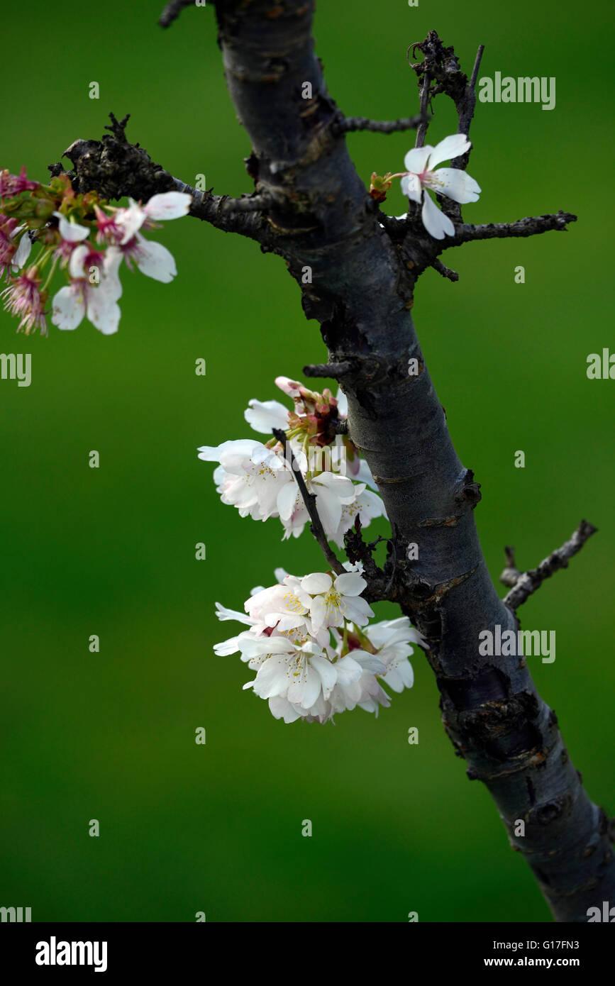 Prunus annonce cluster woodfield à petites fleurs blanches fleurs de cerisier d'ornement fleur fleur fleurs Photo Stock