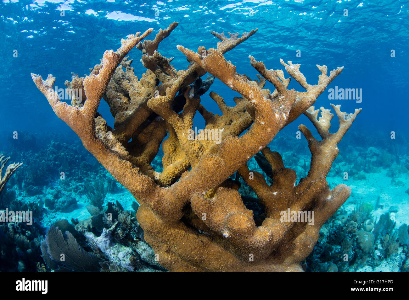 Une belle colonie de corail Elkhorn pousse dans les Caraïbes près de Belize. Cette région est connue pour sa biodiversité marine. Banque D'Images