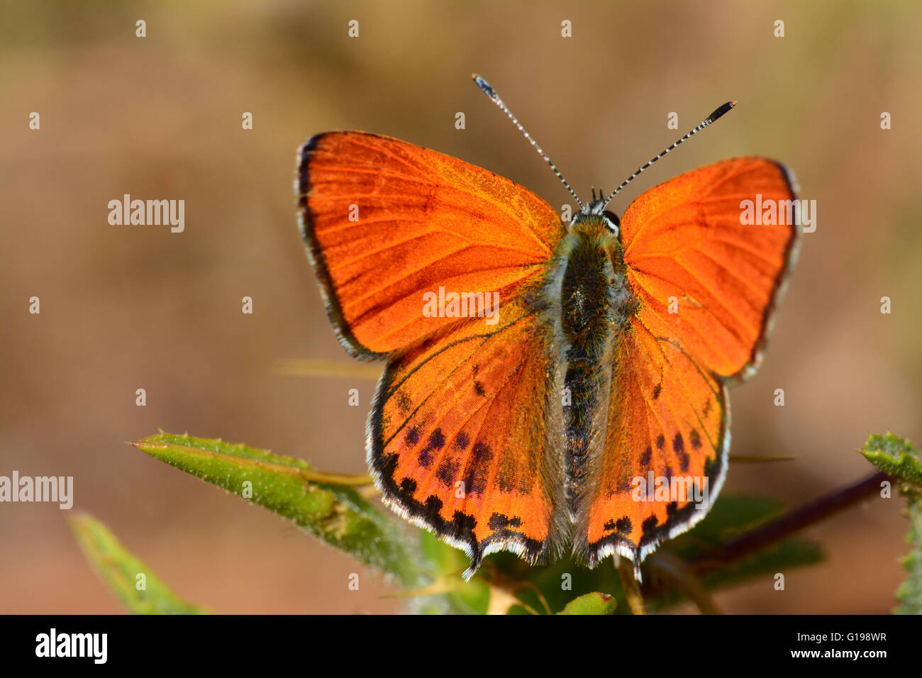 Fiery moindre papillon cuivre Photo Stock