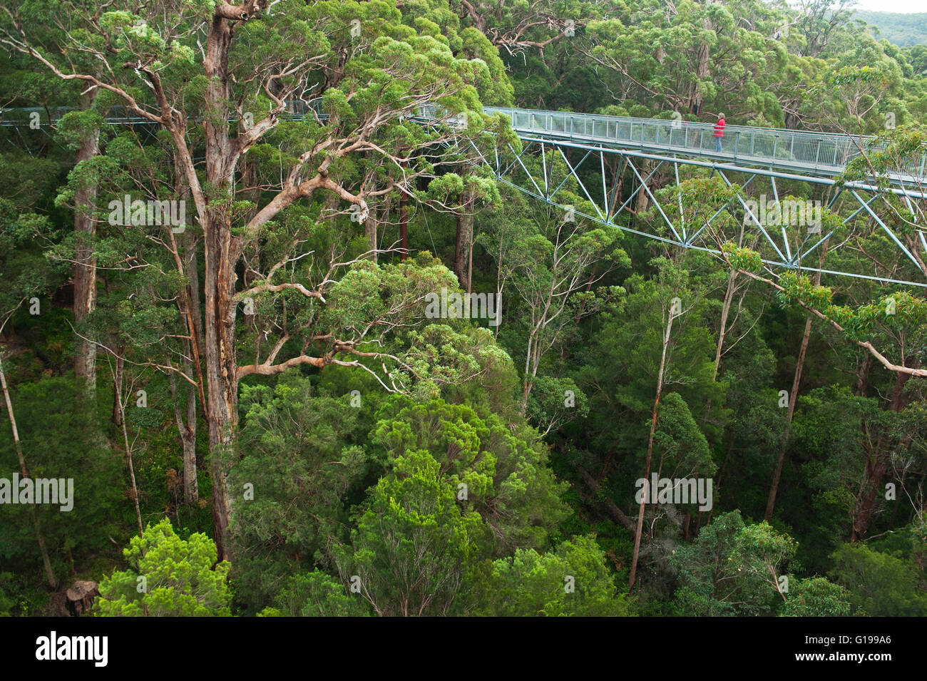 Treetop Walk, Canopy Walkway, Valley of the Giants, Walpole-Nornalup National Park, Australie occidentale Photo Stock