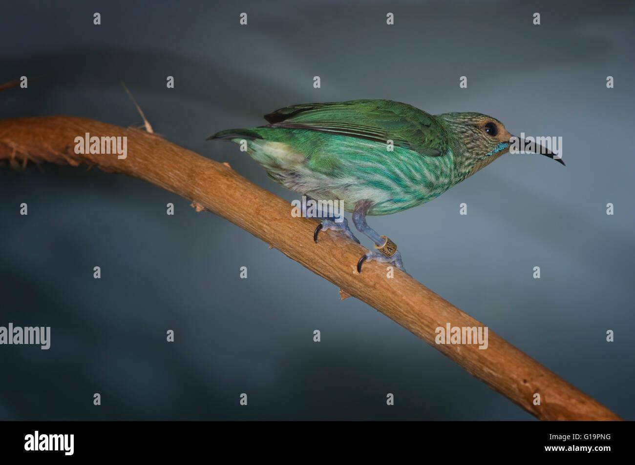 Humming-bird, assis sur bough Photo Stock