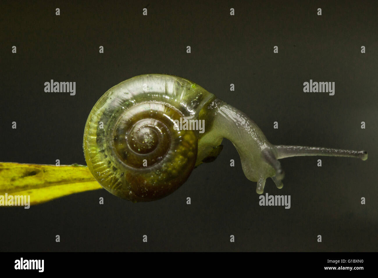 L'Escargot nerveux Photo Stock