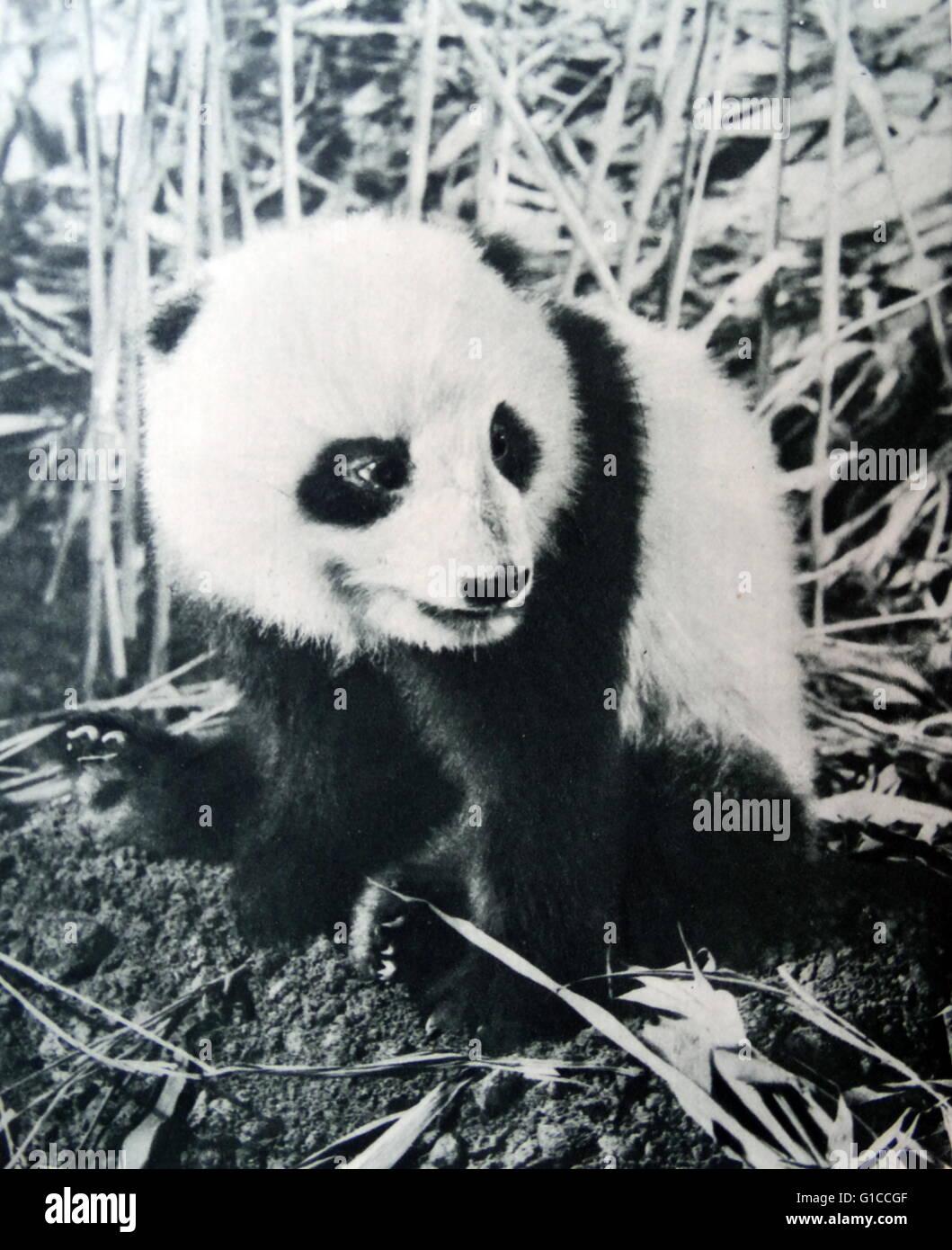 Vintage photo d'un panda en Chine 1925 Photo Stock