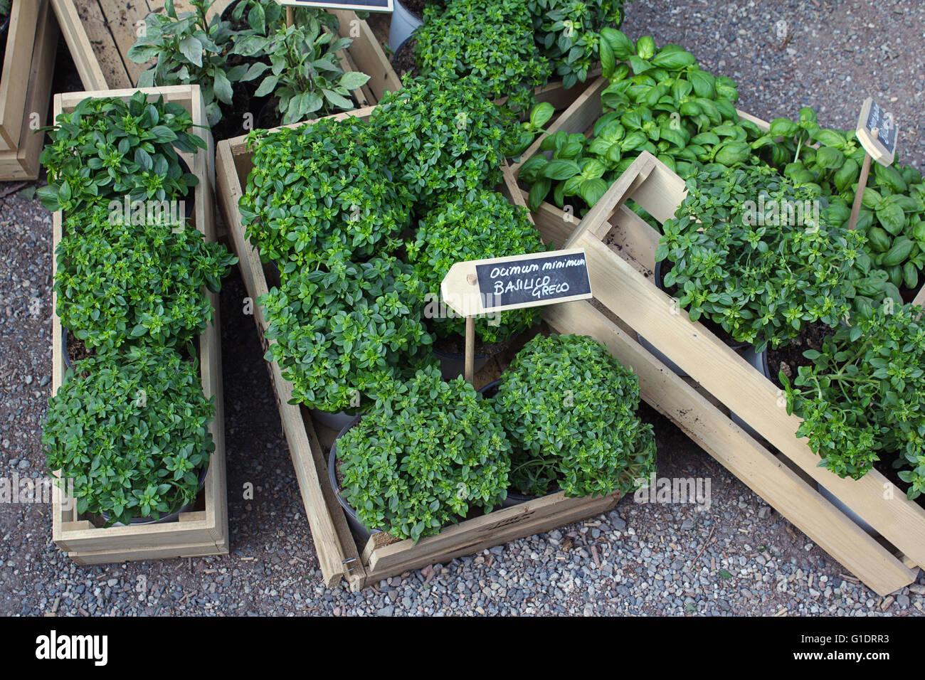 Differents Types De Basilic Frais Et Biologiques De Plantes