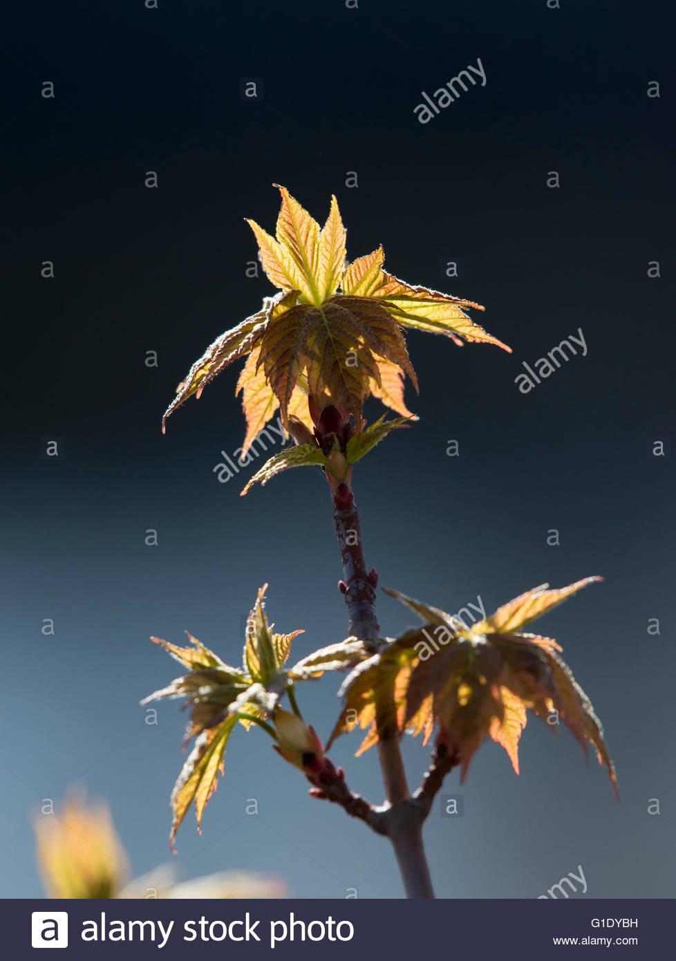 Le début de saison du printemps. Les détails des arbres et arbustes de shinny nouvelles feuilles dans Photo Stock
