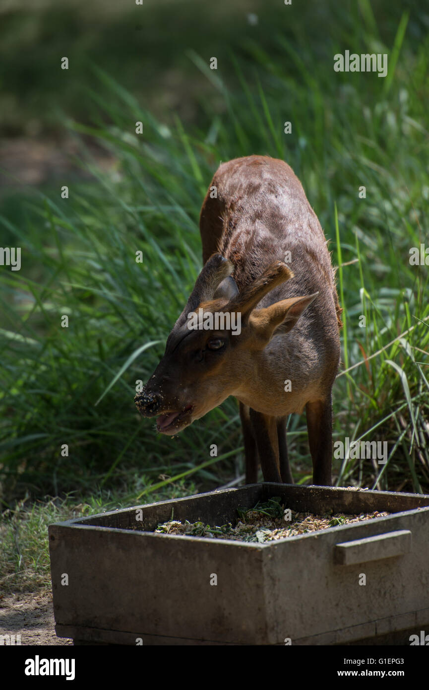 Deer Barking, Muntiacus muntjak, cervidés, de l'Asie Photo Stock