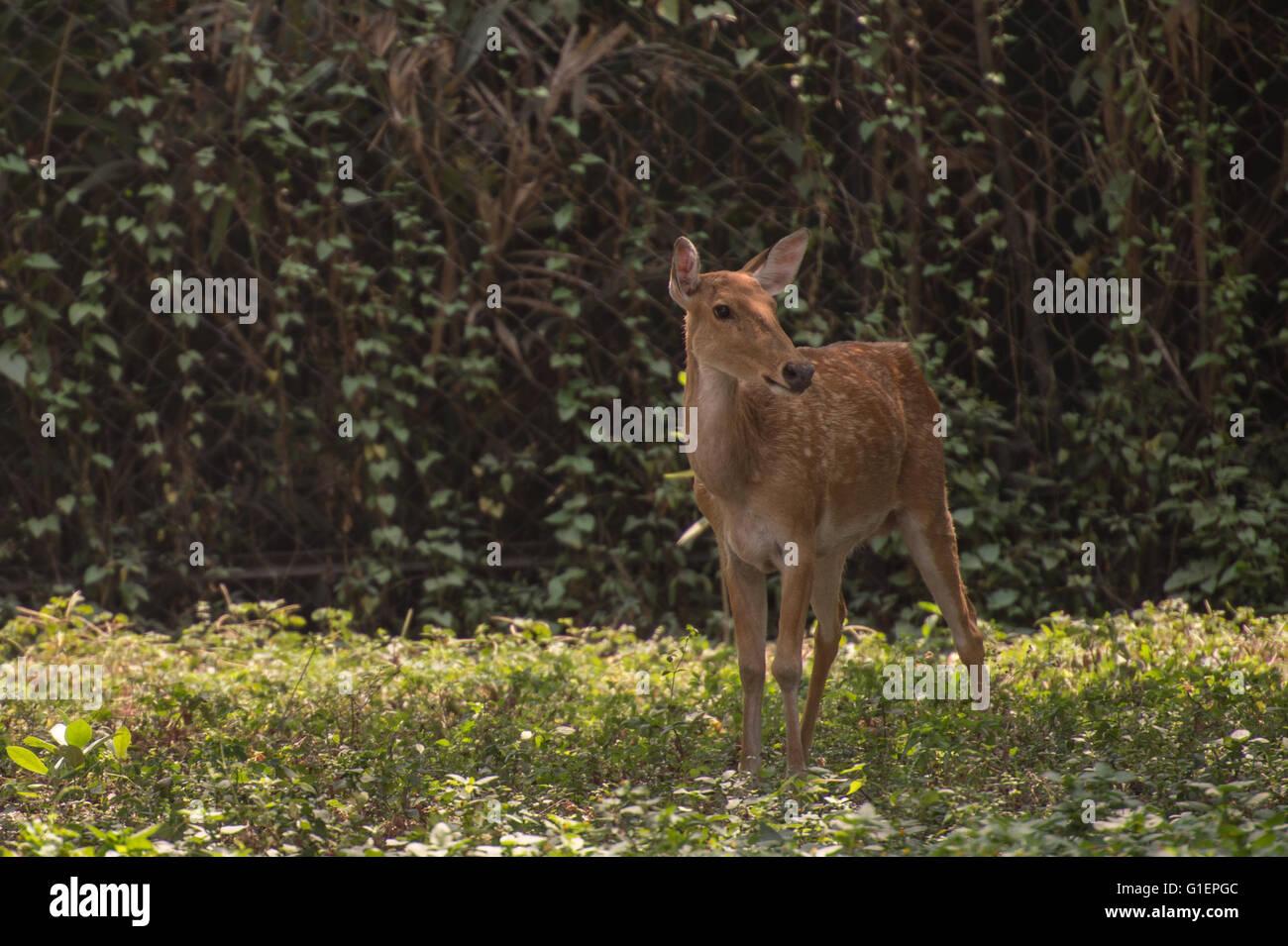 Le cerf des marais, barasingha, Rucervus duvaucelii, cervidés, Inde, Asie Photo Stock