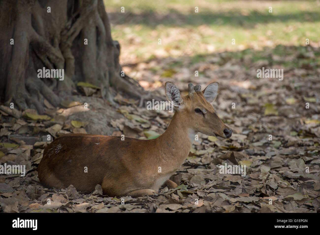 Femelle de Brown-chevreuil, Cervus eldii eldii,, cervidés, Inde, Asie Photo Stock