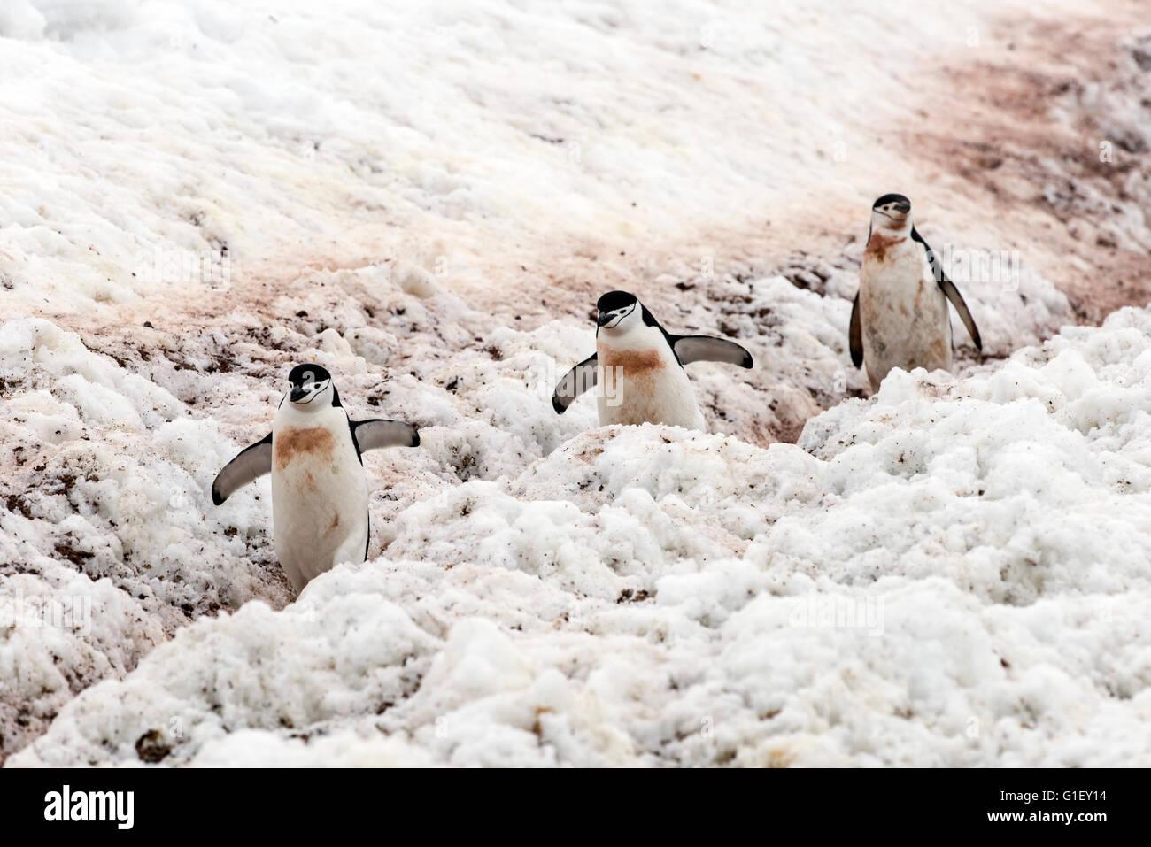 Gamla (Pygoscelis antarctica) marche sur l'autoroute de pingouin pour nid de la demi-lune island Péninsule Photo Stock