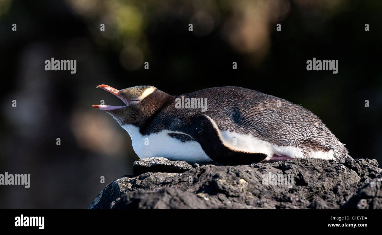 Yellow-eyed penguin (Megadyptes antipodes) sur l'île Enderby rock New Zealand Photo Stock