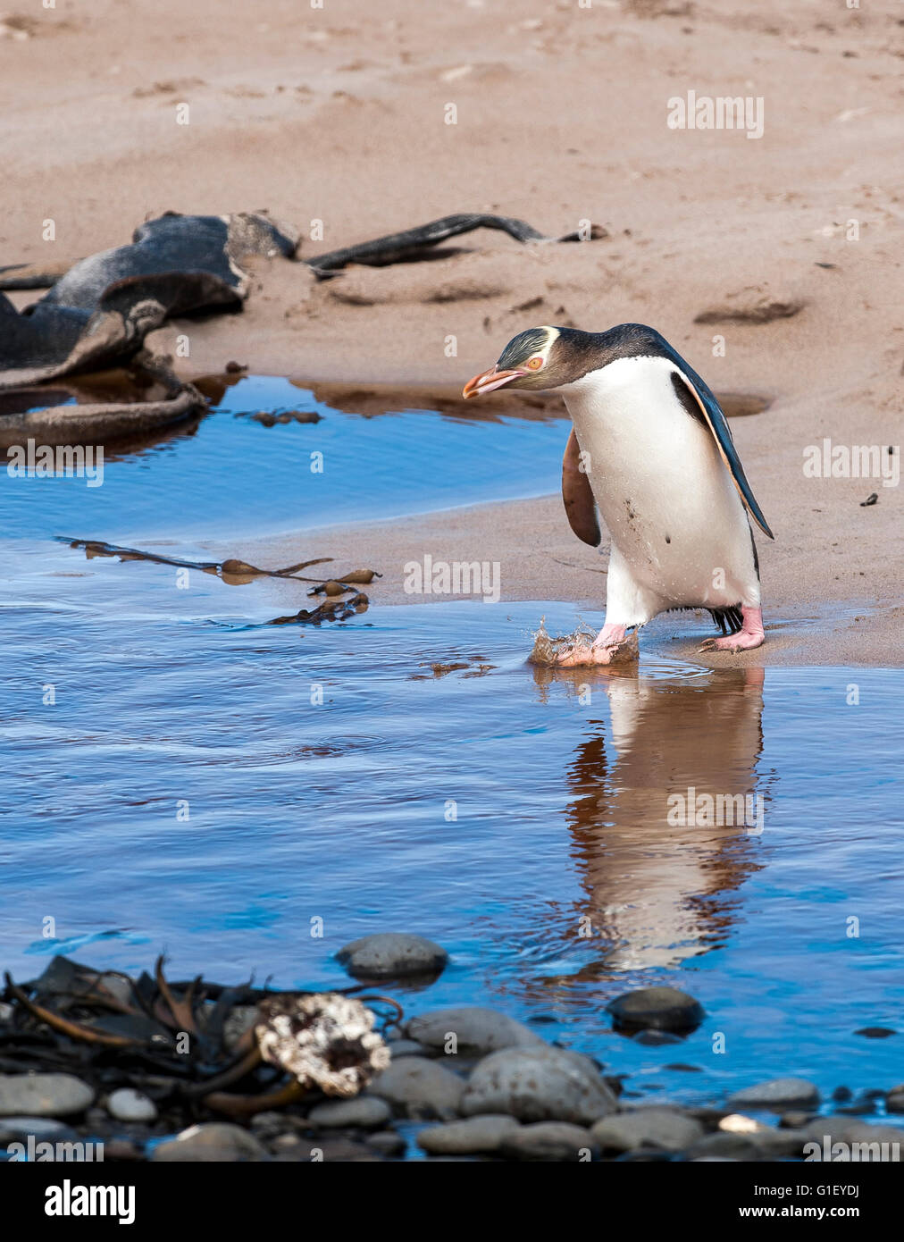 Yellow-eyed penguin (Megadyptes antipodes) walking on beach Enderby island Nouvelle Zélande Photo Stock