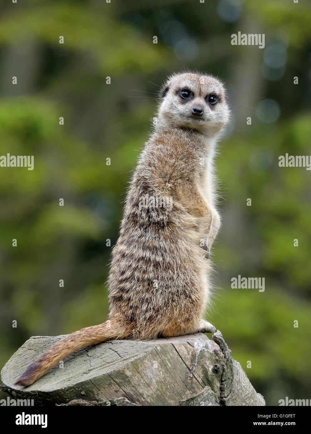 Meerkat sur un journal sous surveillance pour le groupe Photo Stock
