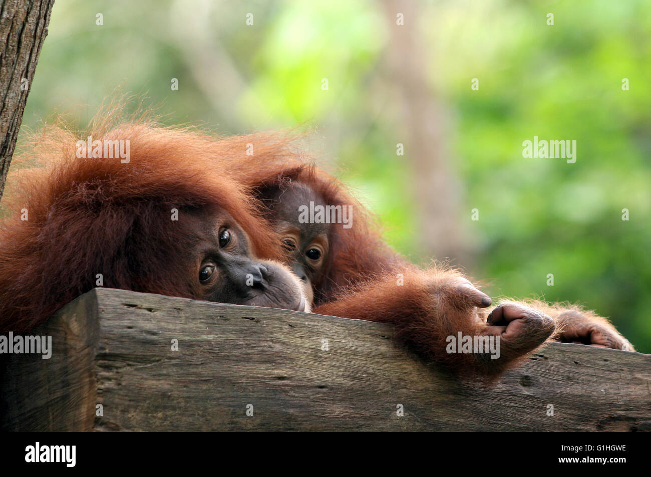 L'orang-outan singe Photo Stock