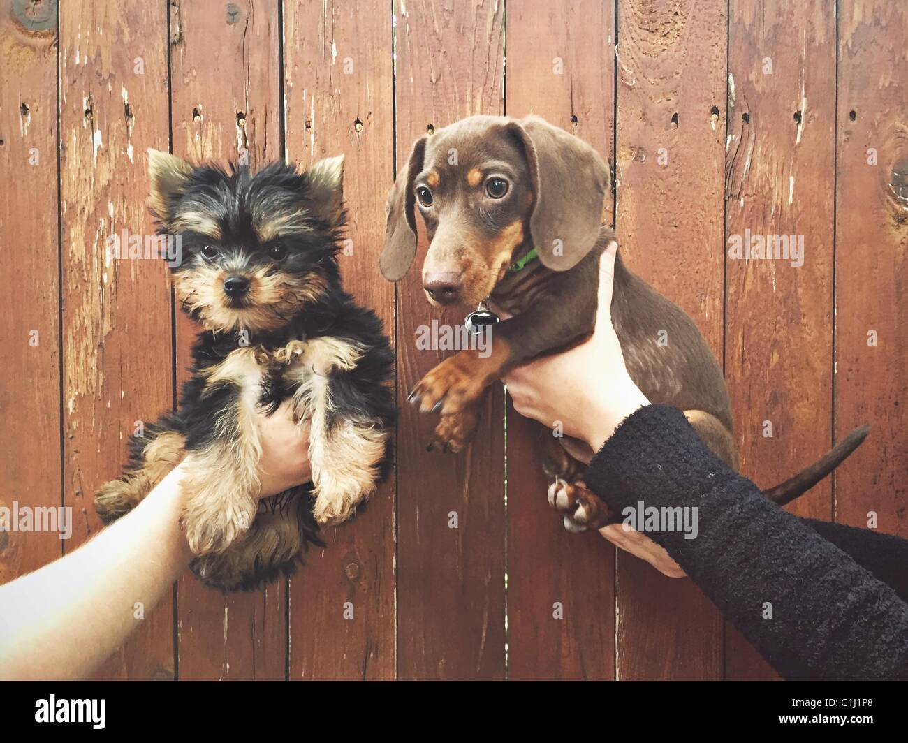 Les mains tenant deux chiots Photo Stock