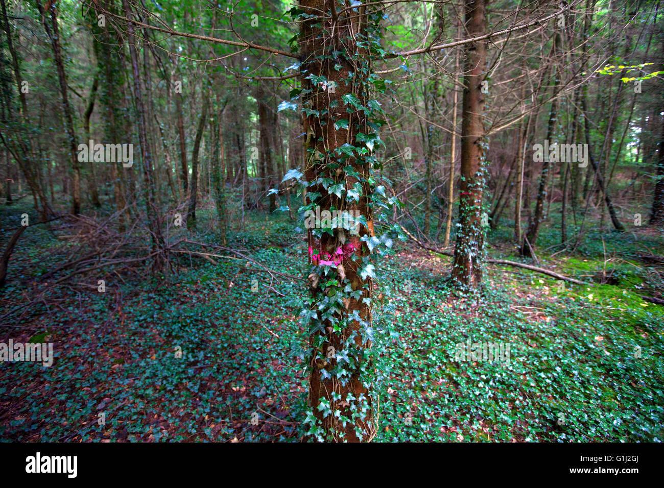 Forêt de Dean, Gloucestershire. Cette plantation de sapin de Douglas se dilués et les arbres peints en Photo Stock