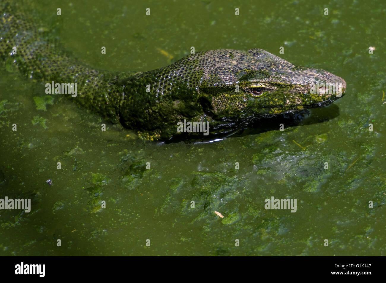 Monitor Lizard, Varanus salvator, Varanidae, Asie Photo Stock