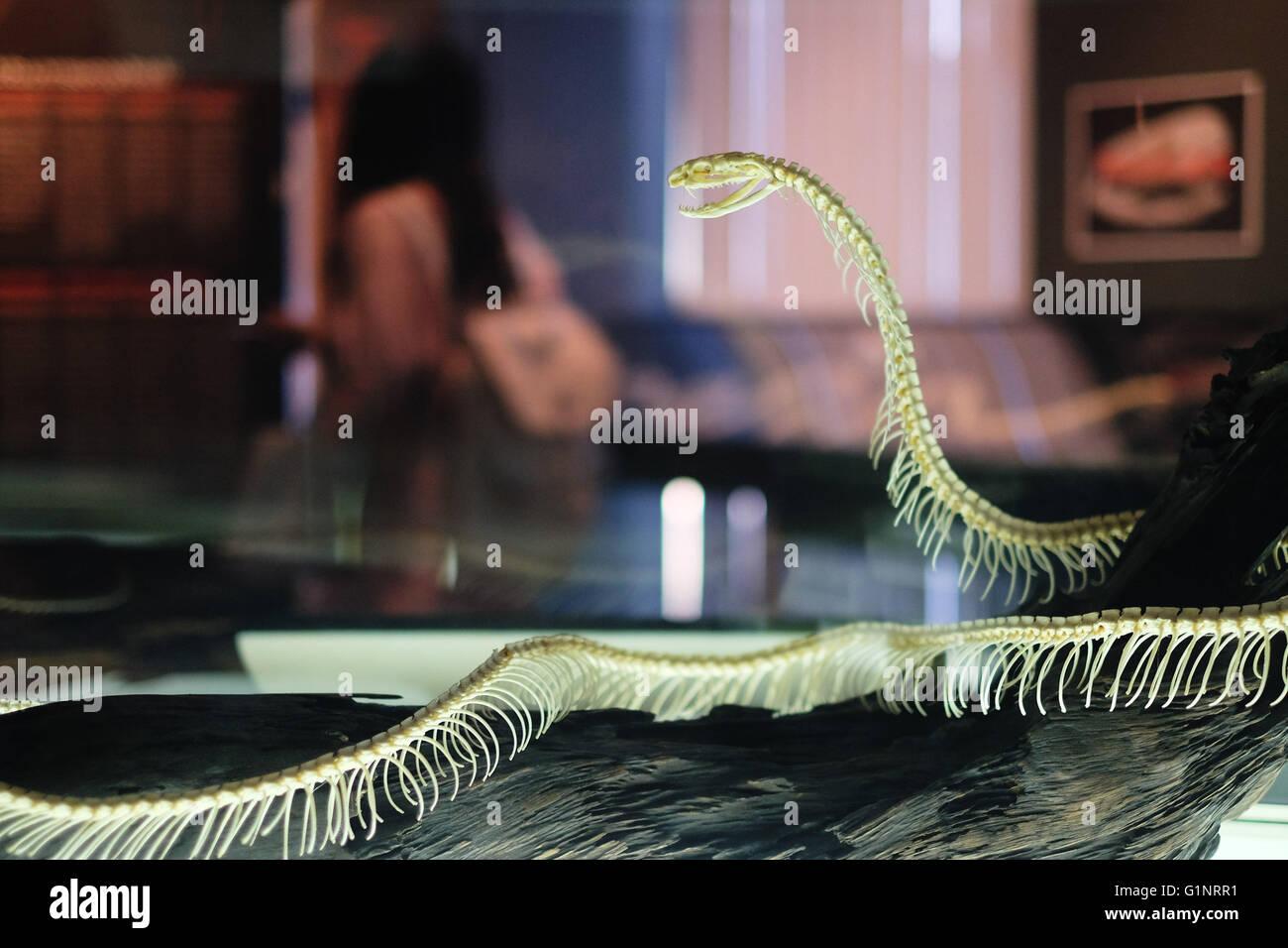 Bangkok, Thaïlande. 17 mai, 2016. Un serpent squelette spécimen est exposé au Queen Saovabha Memorial Institute's snake museum à Bangkok, Thaïlande, le 17 mai 2016. Fondée en 1922, la Reine Saovabha Memorial Institute est un organisme de recherche majeur en Thaïlande qui se spécialise dans la rage et les toxines animales. À l'institute's snake museum, les visiteurs pourront voir des dizaines de non-venimeux serpent venimeux et races ainsi qu'apprendre les traitements d'urgence pour les morsures de serpent. © Li Mangmang/Xinhua/Alamy Live News Banque D'Images