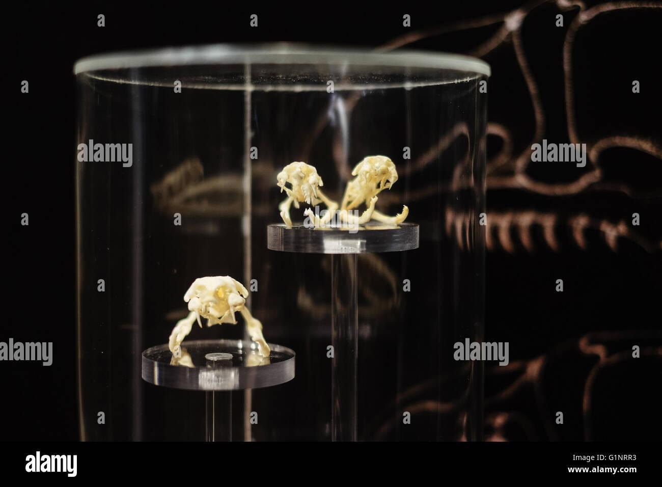 Bangkok, Thaïlande. 17 mai, 2016. Les spécimens de crânes de serpent sont exposées au Queen Saovabha Memorial Institute's snake museum à Bangkok, Thaïlande, le 17 mai 2016. Fondée en 1922, la Reine Saovabha Memorial Institute est un organisme de recherche majeur en Thaïlande qui se spécialise dans la rage et les toxines animales. À l'institute's snake museum, les visiteurs pourront voir des dizaines de non-venimeux serpent venimeux et races ainsi qu'apprendre les traitements d'urgence pour les morsures de serpent. © Li Mangmang/Xinhua/Alamy Live News Banque D'Images