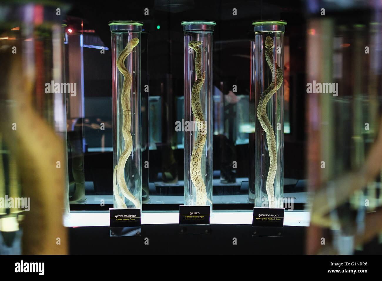 Bangkok, Thaïlande. 17 mai, 2016. Les spécimens de serpents sont exposées à la Reine Saovabha Memorial Institute's snake museum à Bangkok, Thaïlande, le 17 mai 2016. Fondée en 1922, la Reine Saovabha Memorial Institute est un organisme de recherche majeur en Thaïlande qui se spécialise dans la rage et les toxines animales. À l'institute's snake museum, les visiteurs pourront voir des dizaines de non-venimeux serpent venimeux et races ainsi qu'apprendre les traitements d'urgence pour les morsures de serpent. © Li Mangmang/Xinhua/Alamy Live News Banque D'Images