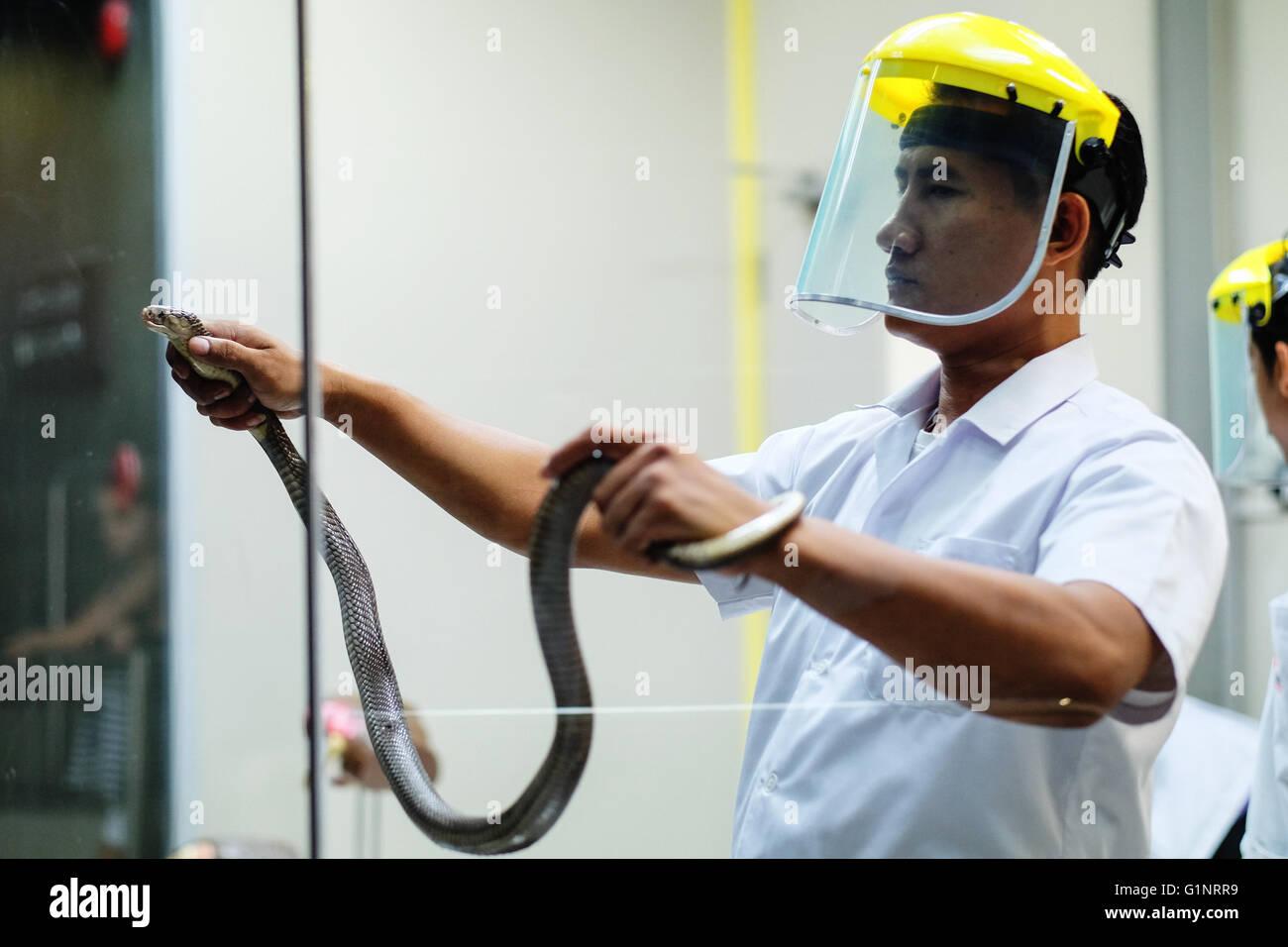 Bangkok, Thaïlande. 17 mai, 2016. Un membre du personnel de la Reine Saovabha Memorial Institute's snake museum montre aux visiteurs comment extraire le venin de serpent à Bangkok, Thaïlande, le 17 mai 2016. Fondée en 1922, la Reine Saovabha Memorial Institute est un organisme de recherche majeur en Thaïlande qui se spécialise dans la rage et les toxines animales. À l'institute's snake museum, les visiteurs pourront voir des dizaines de non-venimeux serpent venimeux et races ainsi qu'apprendre les traitements d'urgence pour les morsures de serpent. © Li Mangmang/Xinhua/Alamy Live News Banque D'Images