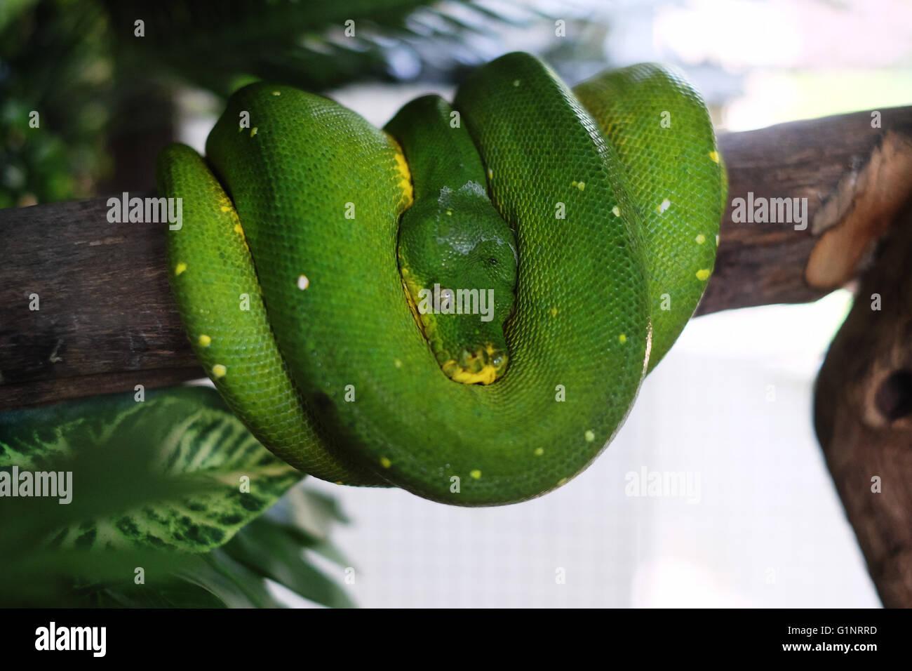 Bangkok, Thaïlande. 17 mai, 2016. Un arbre vert python est vu au Queen Saovabha Memorial Institute's snake museum à Bangkok, Thaïlande, le 17 mai 2016. Fondée en 1922, la Reine Saovabha Memorial Institute est un organisme de recherche majeur en Thaïlande qui se spécialise dans la rage et les toxines animales. À l'institute's snake museum, les visiteurs pourront voir des dizaines de non-venimeux serpent venimeux et races ainsi qu'apprendre les traitements d'urgence pour les morsures de serpent. © Li Mangmang/Xinhua/Alamy Live News Banque D'Images