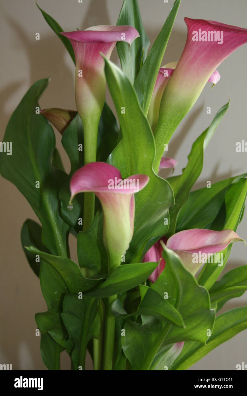 pink arum lilies photos & pink arum lilies images - alamy