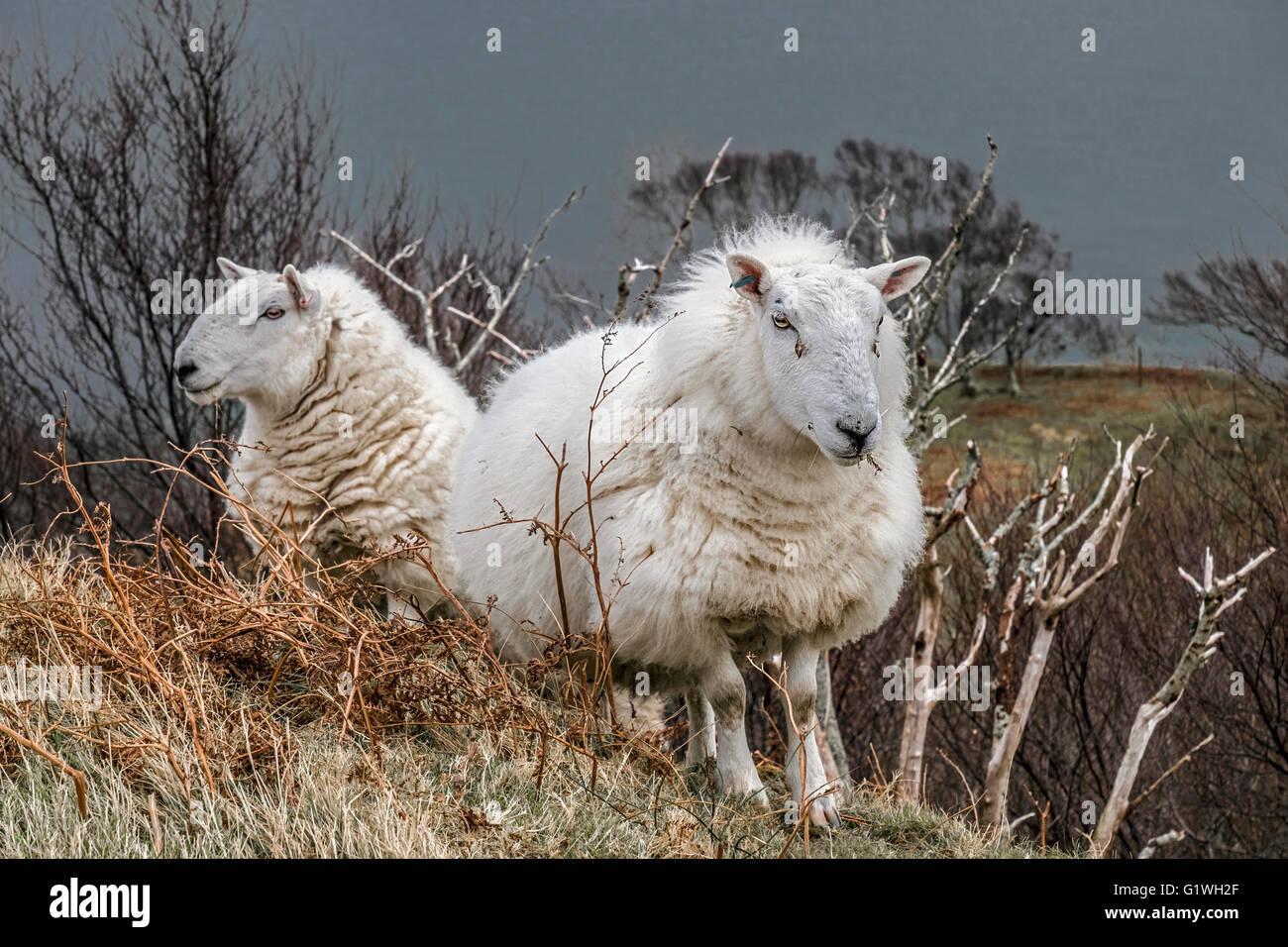 Deux brebis de Cheviot réglage hiver ile de Skye Photo Stock