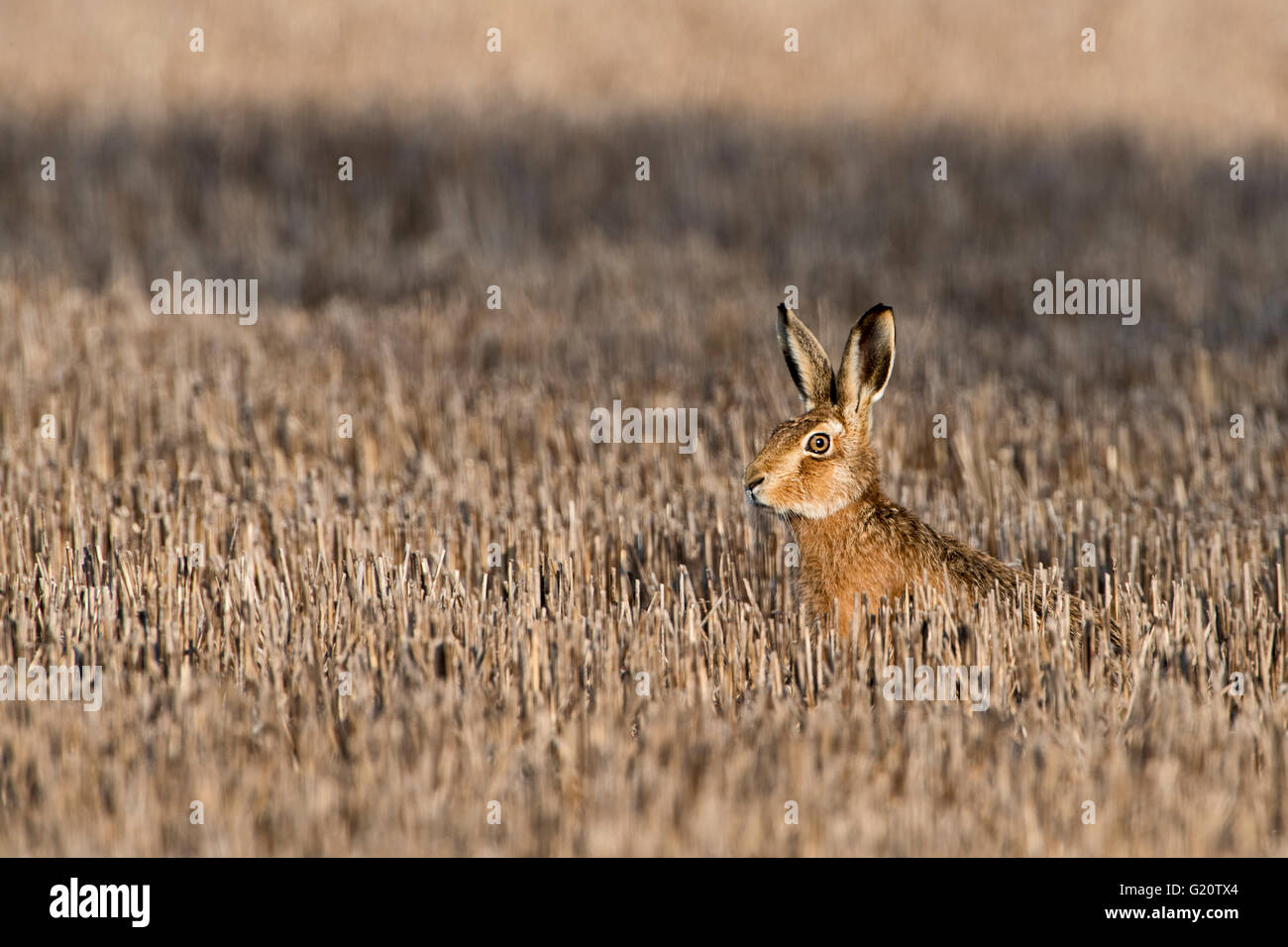 European Brown Hare, Lepus europaeus en hiver Mars UK Norfolk Photo Stock