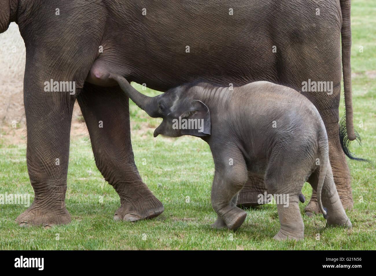 Un mois de l'éléphant indien (Elephas maximus indicus) nommé Maxmilian avec sa mère Janita Photo Stock