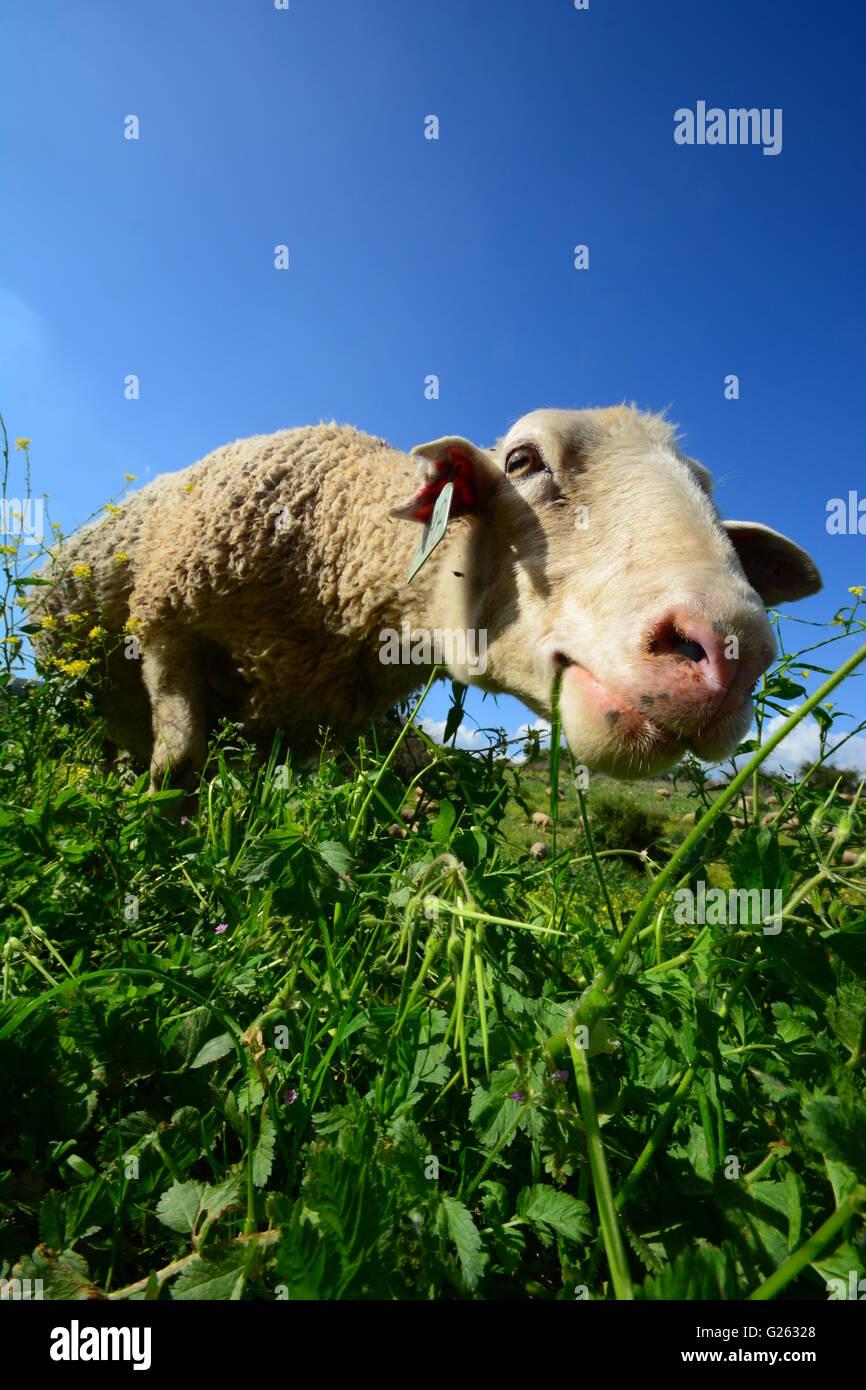 Vue du sol, pâturage de moutons Photo Stock