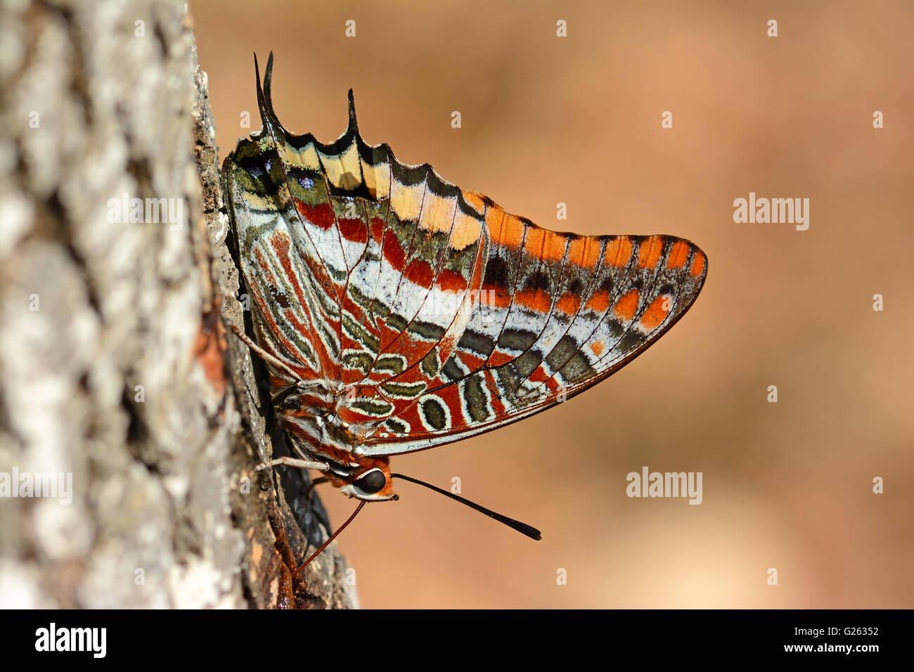 Pacha à deux queues potable papillon Photo Stock