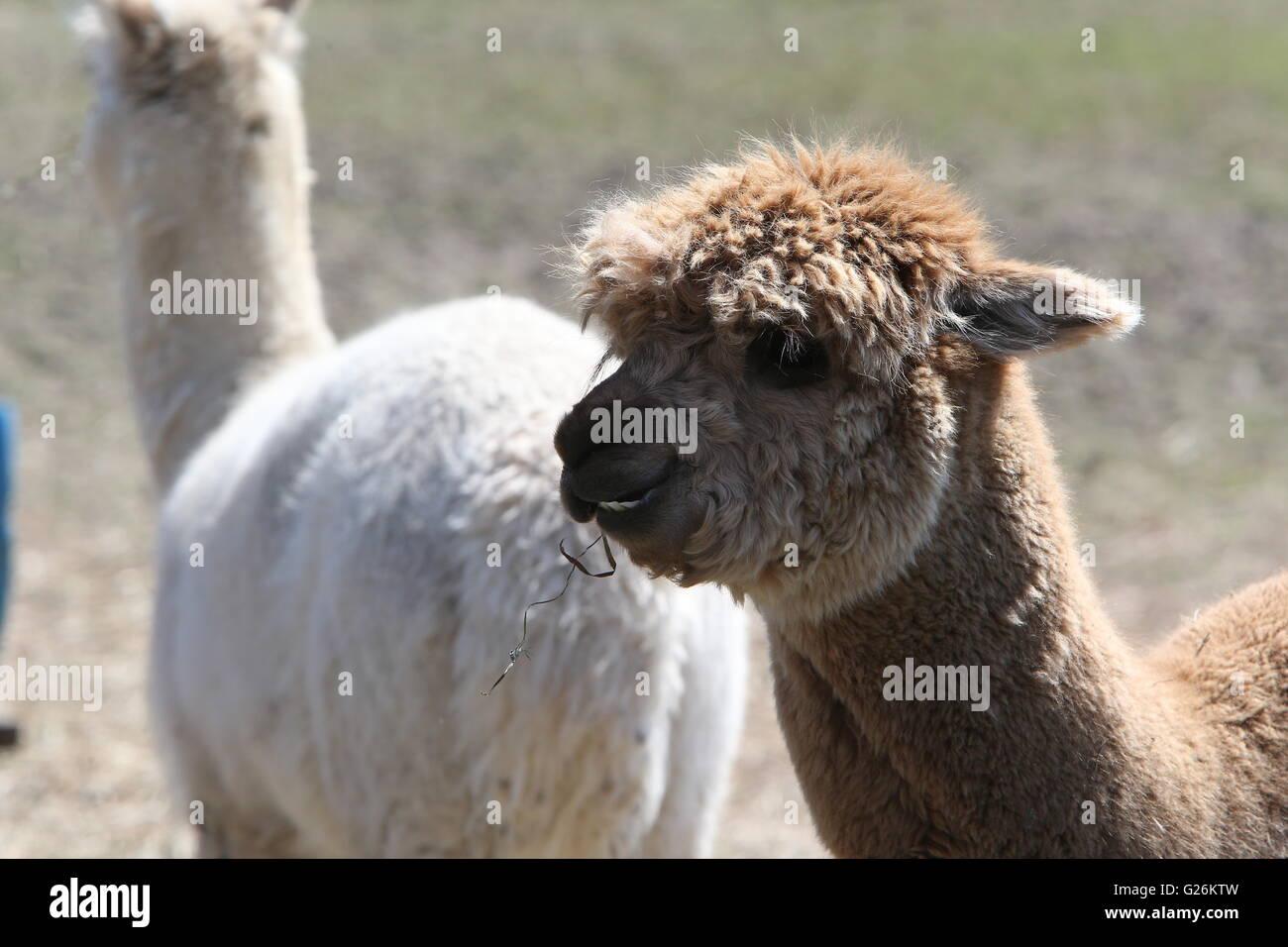 Alpagas Photo Stock