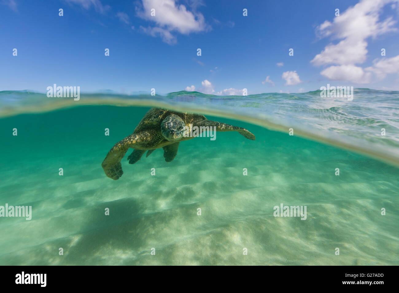 Une vue sous d'une tortue de mer verte d'Hawaii dans l'océan la baignade. Photo Stock