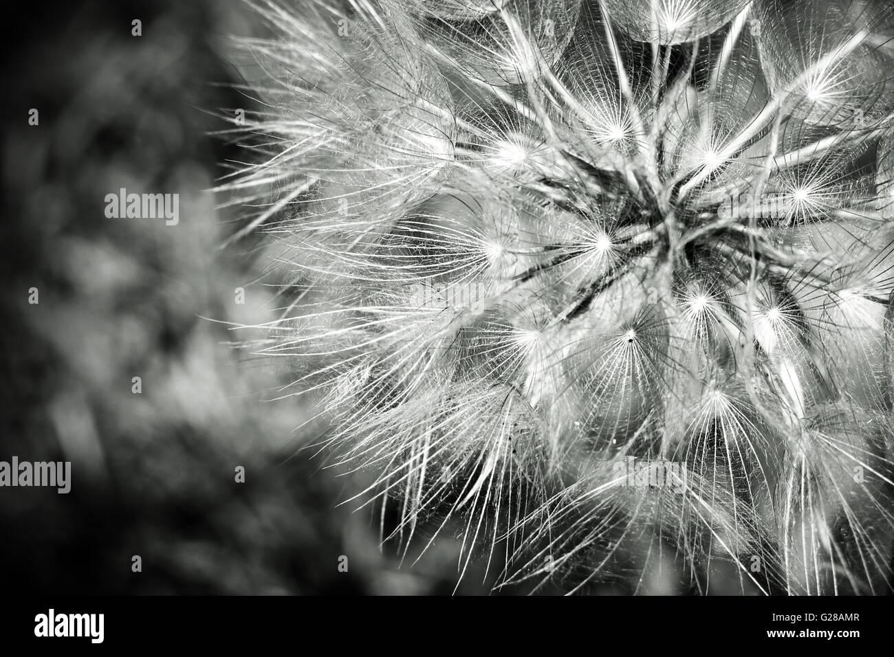 Noir Blanc Graines De Pissenlit Fleur Nom Scientifique