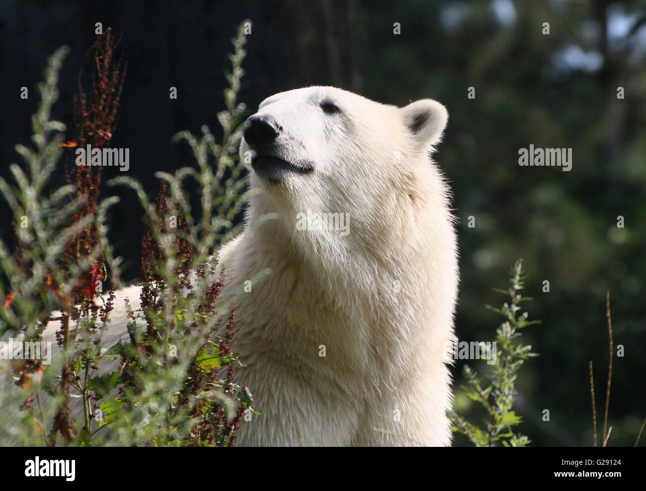 Femelle ours polaire (Ursus maritimus) dans un établissement d'été naturel, low point de vue Photo Stock
