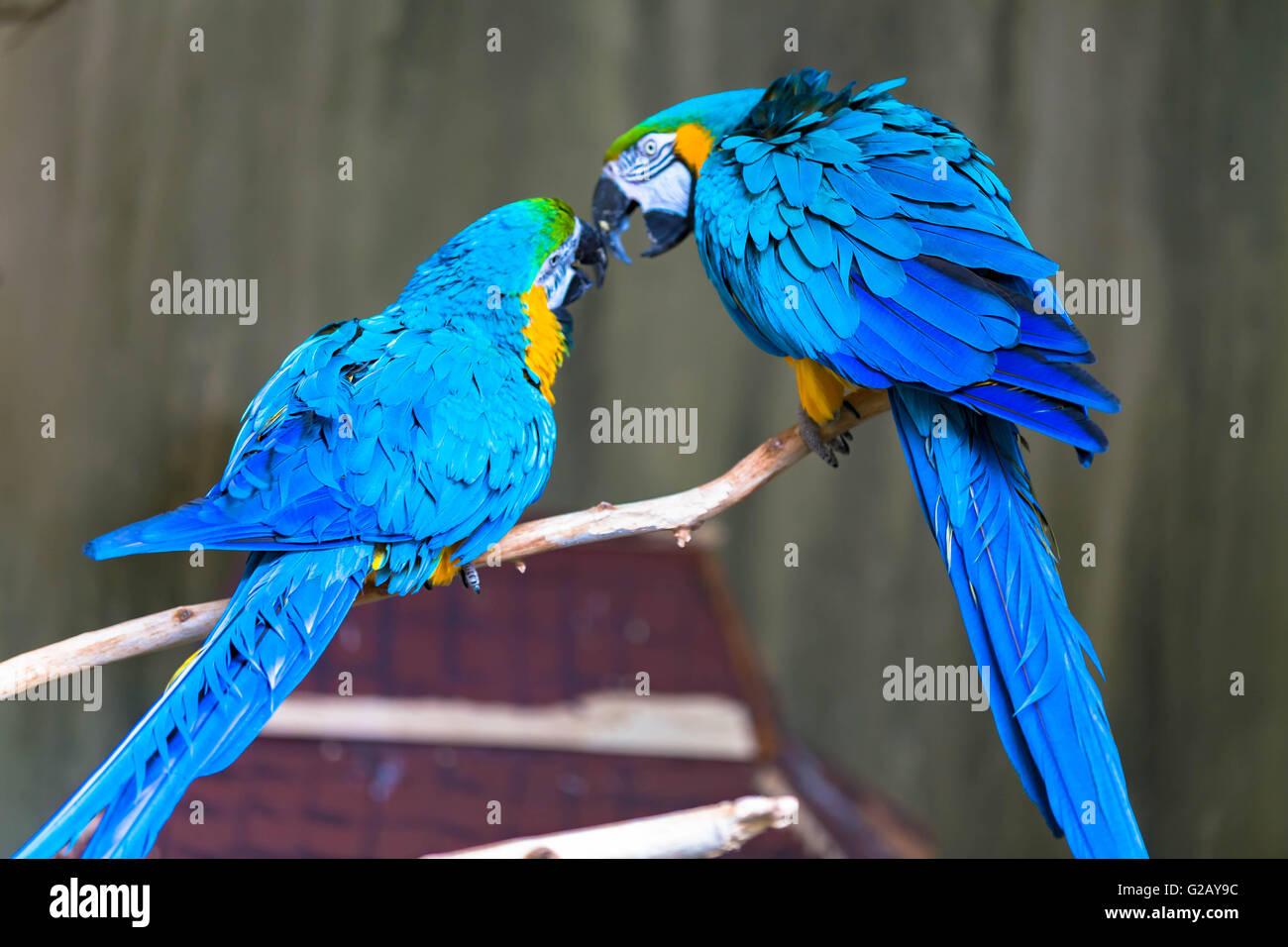 Un couple d'aras d'amour Photo Stock
