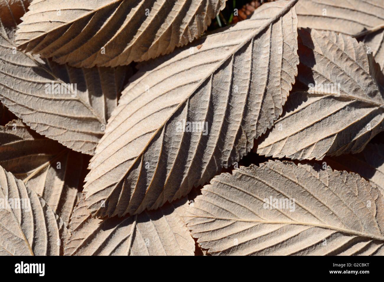 Configuration des lames ou des modèles d'aria Sorbus, Quercus palustris, feuilles Photo Stock