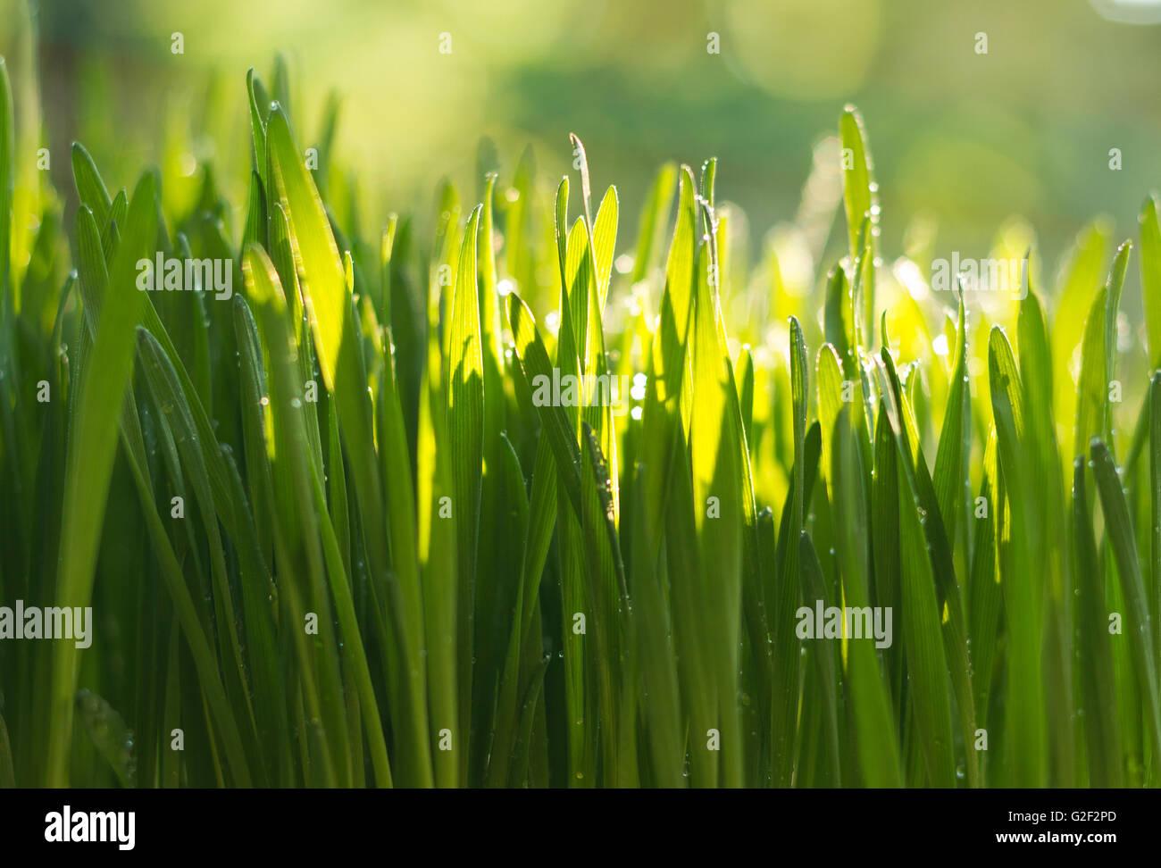 L'herbe de blé fraîchement cultivés Photo Stock