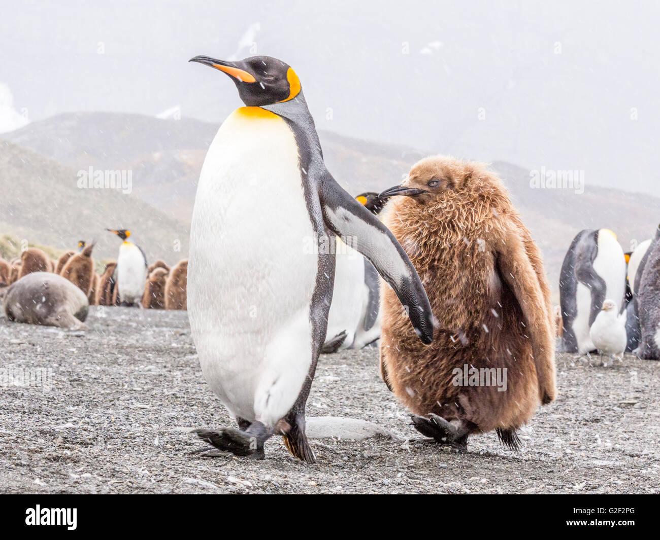 Un parent King Penguin vivement des promenades le long d'une plage avec ses jeunes dans le remorquage Photo Stock