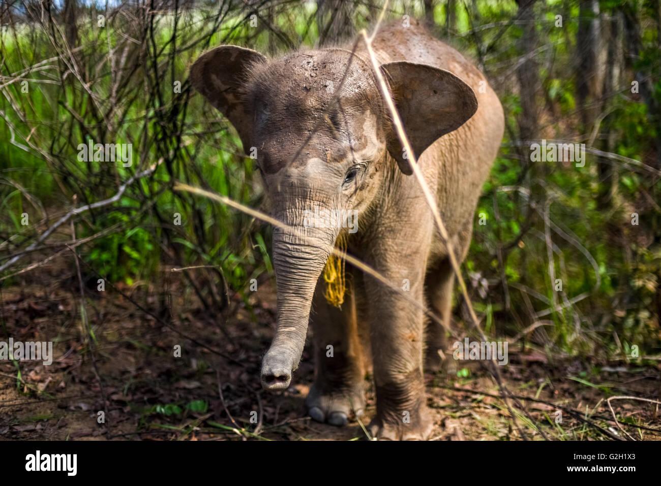 L'éléphant de Sumatra bébé dans les buissons. Le Parc National de Way Kambas, Sumatra, Indonésie. Photo Stock