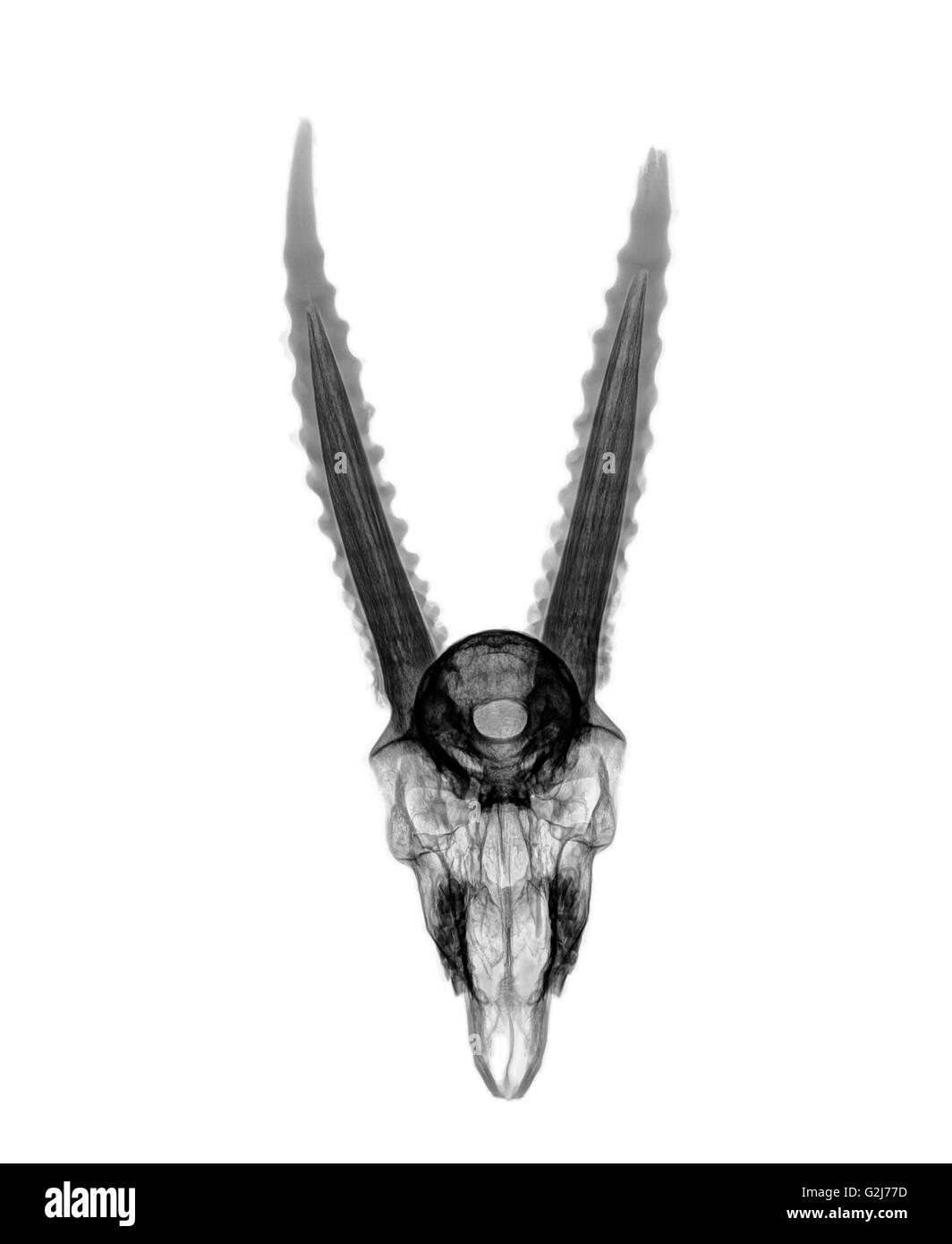 Vue supérieure de la radiographie d'un crâne d'une gazelle sur fond blanc