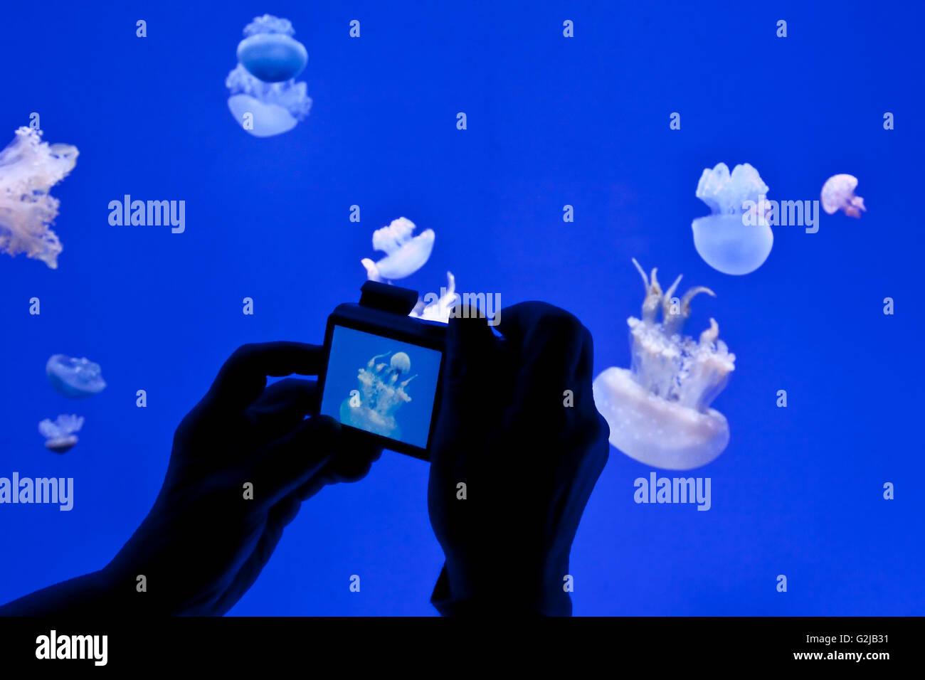 Photographies visiteur méduses dans Planète gelées de galerie à l'Aqarium Riply du Canada Photo Stock